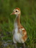 Sandhill Crane (Grus Canadensis) Chick Photographic Print by Arthur Morris