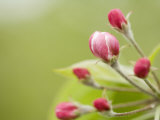 Apple Blossom Buds About to Open in the Spring Photographie