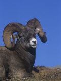 Bighorn Sheep Ram Resting (Ovis Canadensis), Rocky Mountains, Alberta, Canada Photographic Print by Tom Walker