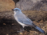 Mexican or Gray-Breasted Jay, Aphelocoma Ultramarina, Western North America Photographie par Charles Melton