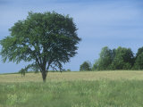 American Elm (Ulmus Americana), North America Photographic Print by Ross Frid