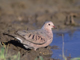 Common Ground Dove Drinking at a Waterhole (Columbina Passerina), Texas, USA Photographic Print by Mary Ann McDonald