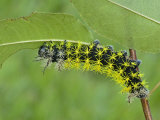 Saturnid Moth Caterpillar Eating a Leaf (Leucanella Lynx) . Ecuador Photographic Print by Leroy Simon