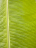Close-Up of a Bright Green Banana Leaf Photographic Print by David Fleetham