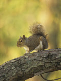 Gray Squirrel, Sciurus Carolinensis, Eastern USA Photographic Print by Gary Carter