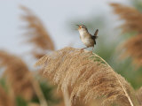 Marsh Wren (Cistothorus Palustris) Singing, North America Photographie par Robert Servrancky