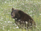 Black Bear in a Mountain Wildflower Meadow, Ursus Americanus, North America Reproduction photographique par Jack Michanowski