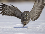 Joe McDonald - A Great Gray Owl Flying Close to Snowy Ground While Hunting, Strix Nebulosa, North America Fotografická reprodukce