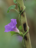 Common Morning Glory, Ipomoea Purpurea, Twining Up a Corn Stalk, North America Photographic Print by Adam Jones