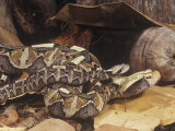 Gaboon Viper Adult and Young, Bitis Gabonica, Central Africa Photographic Print by Joe McDonald