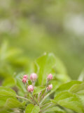 Apple Blossom Buds About to Open in the Spring Photographic Print