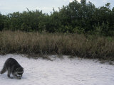 Raccoon Exploring a Sandy Beach in a Saltmarsh Habitat, Procyon Lotor, Southern USA Photographic Print by Arthur Morris