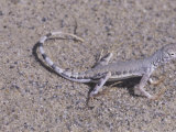 Zebra Tailed Lizard, Callisaurus Draconoides, California, USA Photographic Print by Gerald & Buff Corsi