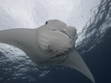 Manta Ray (Manta Birostris) with Remoras on its Fins, Micronesia Photographic Print by David Fleetham