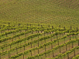 Vineyard, Sonoma Valley, California, USA Photographic Print by Adam Jones