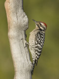 Ladder-Backed Woodpecker Male on a Snag (Picoides Scalaris), Arizona, USA Photographic Print by Charles W. Melton