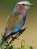 Lilac-Breasted Roller, Coracias Caudata, East Africa Reproduction photographique par Joe McDonald