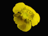Meadow Buttercup Flower Photographic Print by Solvin Zankl