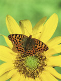 Queen of Spain Fritillary Butterfly (Issoria Lathonia), Family Nymphalidae, England Photographic Print by Leroy Simon