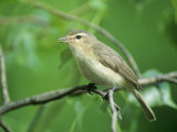 Warbling Vireo (Vireo Gilvus) in a Cottonwood, North America Photographie par Steve Maslowski