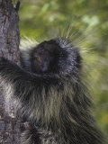 Porcupine, Erethizon Dorsatum, Climbing a Tree, Zion National Park, Utah, USA Photographic Print by Gerald & Buff Corsi