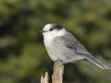 A Gray Jay, Perisoreus Canadensis, North America Photographic Print by Garth McElroy