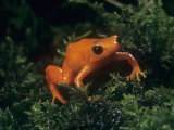 Golden Mantella Frog\R\Nmadagascar, Mantella Aurantiaca Photographic Print by Joe & Mary Ann McDonald
