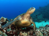Green Sea Turtle, Chelonia Mydas, Resting on a Coral Reef Off Maui, Hawaii, USA Lmina fotogrfica por David Fleetham