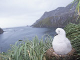 Gray-Headed Albatross Chick in its Nest (Diomedea Chrysostoma), South Georgia Island Photographic Print by Joe McDonald