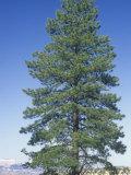 Ponderosa Pine, Pinus Ponderosa, Western USA Photographic Print by Doug Sokell