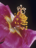 Portulaca Flower Parts Showing Petals, Stamens with Pollen, and the Stigma Photographic Print by Jerome Wexler