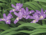 Crested Dwarf Iris, Iris Cristata, Eastern North America Photographic Print by Adam Jones