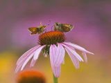 Pair of Skippers on Purple Coneflower, Louisville, Ky, Echinacea Purpurea Photographie par Adam Jones