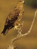 Tawny Eagle, Aquila Rapax, Kenya, Africa Photographic Print by Joe McDonald
