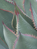 Succulent Leaves and Protective Spines of Shaw's Century Plant, Agave Shawii, California, USA Photographic Print by Gerald & Buff Corsi