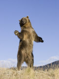 A Grizzly Bear Standing, Ursus Arctos, North America Photographic Print by Joe McDonald