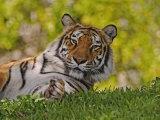 Bengal Tiger Sitting, Panthera Tigris, Asia Photographic Print by Adam Jones