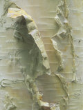 White or Paper Birch Bark, Betula Papyrifera, North America Photographic Print by Doug Sokell