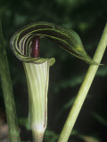 Jack-In-The-Pulpit, Arisaema Atrorubens, Eastern North America Fotografie-Druck von Gustav W. Verderber