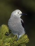 Clark's Nutcracker, Nucifraga Columbiana, Western North America Photographic Print by Joe McDonald
