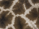 Close Up of the Color Pattern on Reticulated Giraffe Fur (Giraffa Camelopardalis Reticulata) Photographic Print by Adam Jones