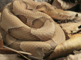 Osage Copperhead, Agkistrodon Contortrix Phaeogaster, . Missouri, USA Photographic Print by G. Merker