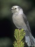Gray Jay, Perisoreus Canadensis, North America Photographie par Charles Melton