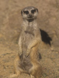 A Meerkat Lookout Near its Den Opening, Suricata Suricatta, Southern Africa Photographic Print by Adam Jones