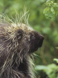 Porcupine Face, Erethizon Dorsatum, North America Photographic Print by Gerald & Buff Corsi
