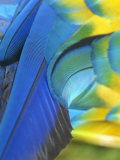 Feathers of a Blue and Gold Macaw, South America Stampa fotografica di Arthur Morris