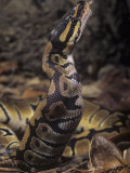 Ball Python, Python Regius, Swallowing its Mouse Prey, Africa Photographic Print by Joe McDonald