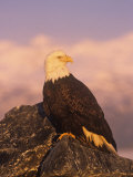 Bald Eagle Perched on Rocks (Haliaeetus Leucocephalus), North America Photographic Print by Tom Walker