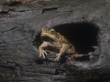 Marine Toad (Bufo Marinus) an Introduced Species. Florida, USA Photographic Print by Joe McDonald