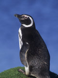 Magellanic Penguin (Spheniscus Magellanicus), Falkland Islands Photographic Print by Beth Davidow